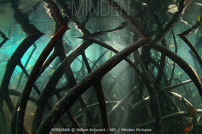 Underwater myriad of Mangrove roots, reflected by the water surface, Picard island, Aldabra, Indian Ocean