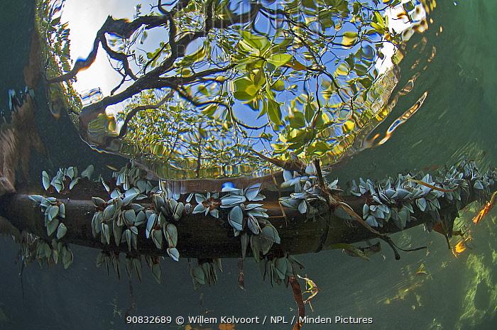 Goose barnacles (Lepas anatifera) growing on underwater root of Mangrove tree, Picard island, Aldabra, Indian Ocean
