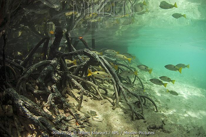 Blackspot snappers (Lutjanus fulviflamma) between the roots of mangroves, Johnny Channel, Aldabra, Indian Ocean