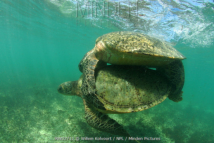 Green turtle (Chelonia mydas) pair mating in shallow water, Anse de Mais, West Grande Terre, Aldabra, Indian Ocean