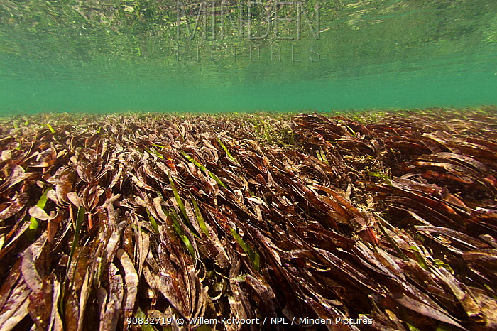 Seagrass moving in the tidal current, East Channel lagoon, East Aldabra, Indian Ocean