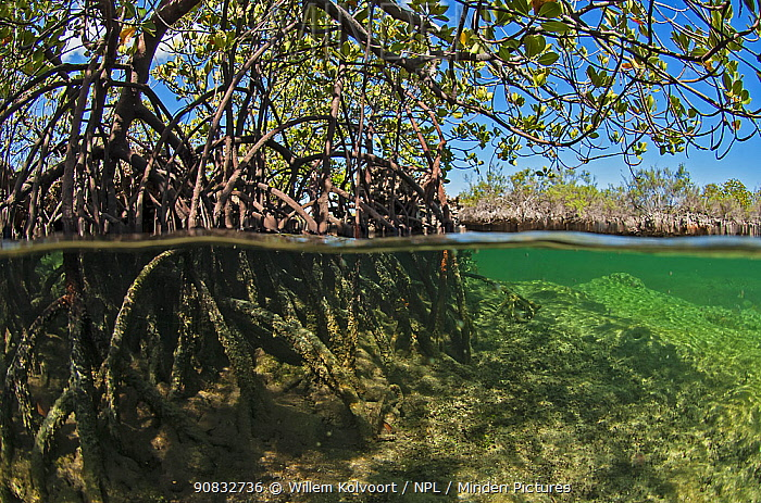 Split level view of mangroves in Bras Deux Cedres, an inlet in the coral island Grand Terre of Aldabra. The inlet is connected to the lagoon of Aldabra. Indian Ocean, 2005