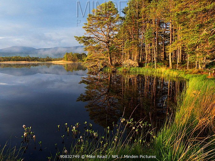 Loch Mallachie in early morning light with Bogbean (Menyanthes trifoliata) in the foreground. RSPB Abernethy Forest National Nature Reserve, Cairngorms National Park, Highland Region, Scotland, UK, May 2019
