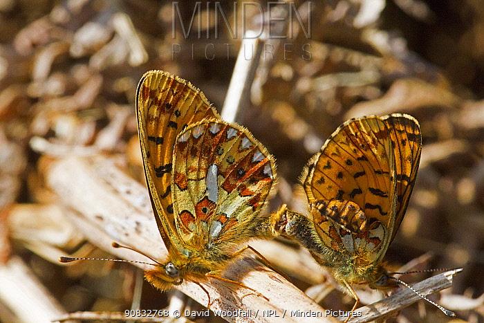 Pearl bordered fritillary butterflies (Boloria euphrosyne) pair mating on Bracken. Denbighshire, Wales, UK. May.