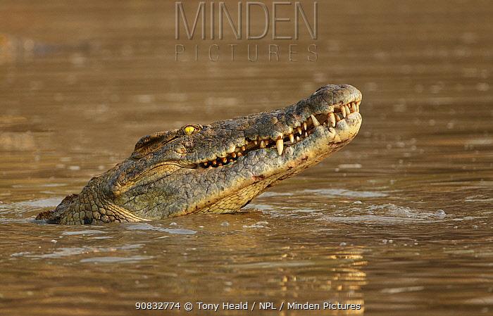 Nile Crocodile (Crocodylus niloticus) Mana Pools National Park, Zimbabwe.