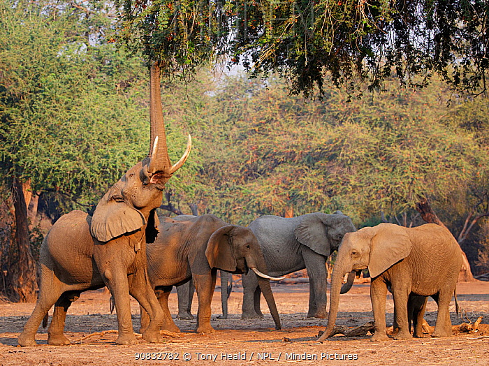 African elephants (Loxodonta africana) with one reaching up for foliage, Mana Pools National Park, Zimbabwe.