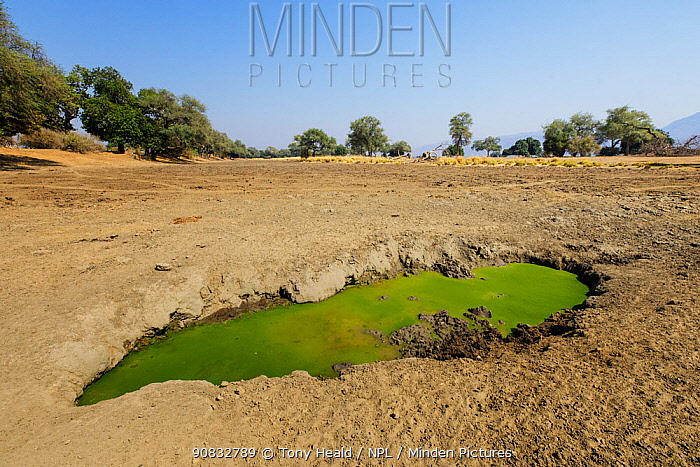 Waterhole within a dried up pool during a drought period covered with algae. Mana Pools National Park, Zimbabwe.