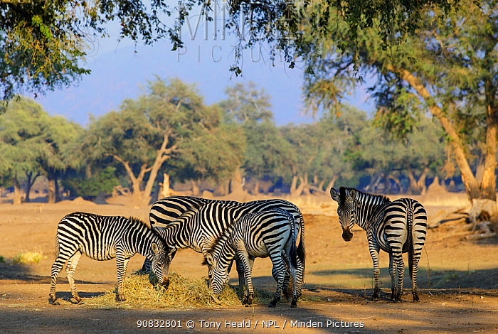Zebra (Equus quagga burchelli) feeding on hay provided by camp operators to prevent starvation during a severe drought. Mana Pools National Park, Zimbabwe. September 2019.