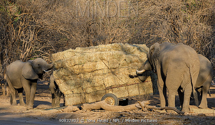 African elephants (Loxodonta africana) feeding on hay from a broken trailer laden with hay for distribution to starving animals during drought. Mana Pools National Park, Zimbabwe, September 2019.