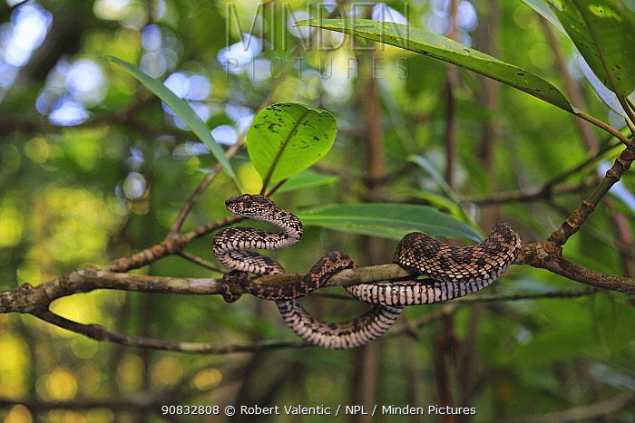 Mangrove Pit Viper (Trimeresurus purpureomaculatus) male from a mangrove forest on Langkawi Island, Malaysia,