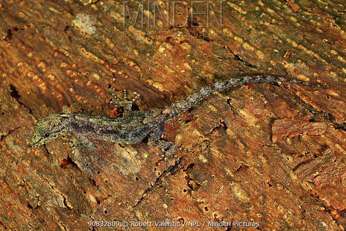 Phuket rock gecko (Cnemaspis phuketensis) Khao Phra Thaew NP, Phuket Island Thailand. Colony of parasitic orange mite can be seen. Controlled conditions.