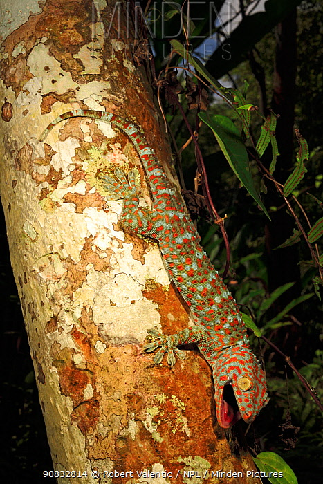 Tokay gecko (Gekko gecko) male from a rubber plantation near Krabi, Thailand, Controlled conditions.