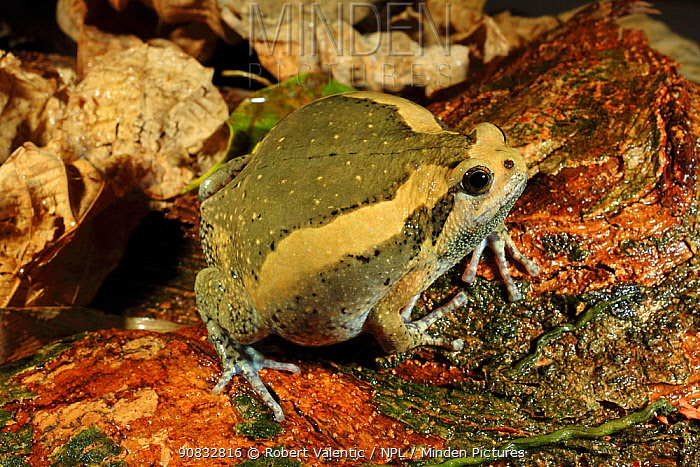 Asian painted frog (Kaloula pulchra) from a coastal resort garden on Phuket Island, Thailand
