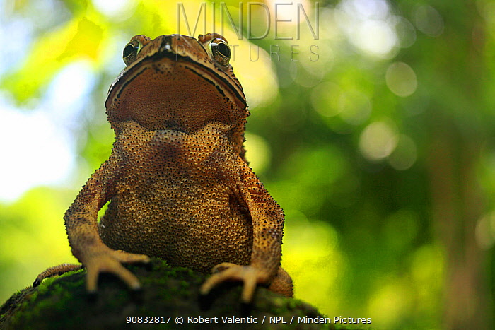 Asian spiny toad (Duttaphryne melanostictus) portrait, Mt Raya, Langkawi Island, Malaysia, wet season, controlled conditions.