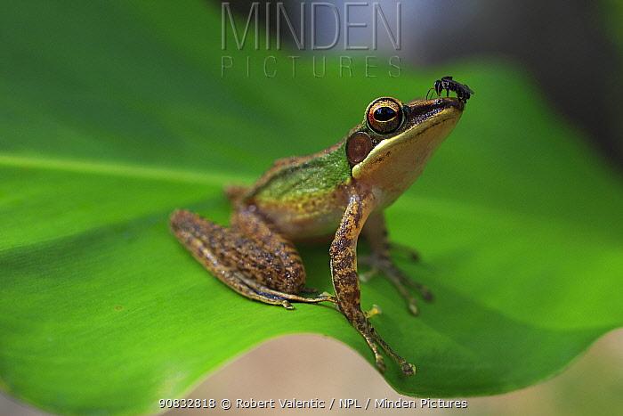 Copper-cheeked frog (Chalcorana labialis) from riparian lowland rainforest on the Cross-island trail, Tioman Island, Malaysia.