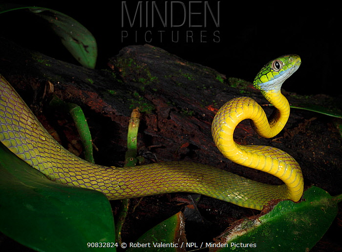 Green Cat Snake (Boiga cyanea) foraging nocturnally in the dry season in secondary rainforest on Phuket Island, Thailand.