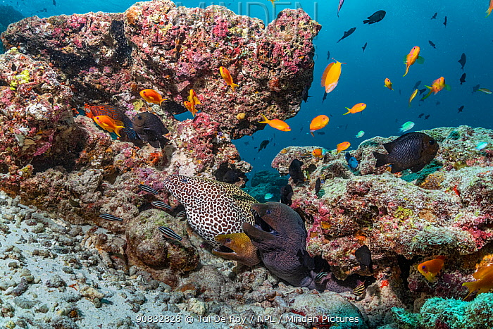 Three moray eels (Gymnothorax) and tropical fish in mostly dead or dying coral reef following several bleaching events, Maldives