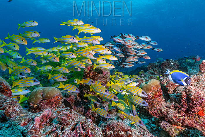 Maldives tropical reef community. Mixed fish species schooling over mostly dead or dying coral reef following several bleaching events, the latest in 2016. Fushifaru Thila, Lhaviyani Atoll, Maldives