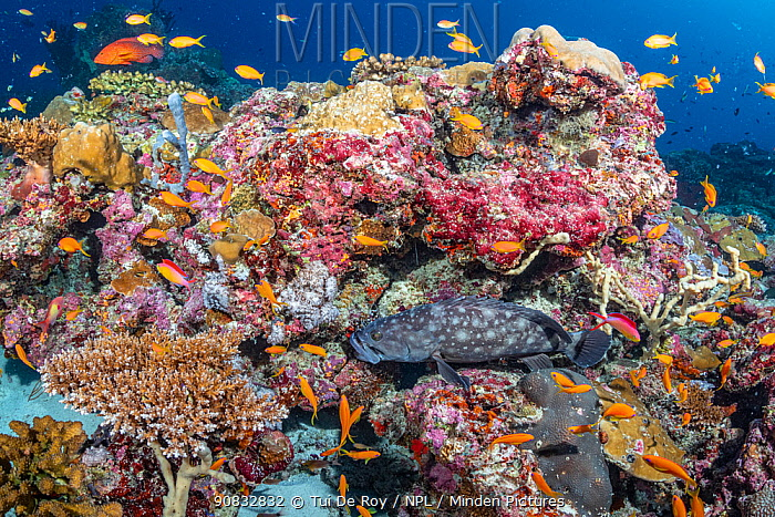 Maldives tropical reef community. Various tropical fish over mostly dead or dying coral reef following several bleaching events, the latest in 2016.