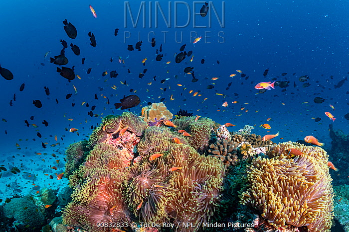 Maldives tropical reef community. Giant sea anemones with Pink anemonefish (Amphiprion perideraion) taking over dead or dying coral reef following several bleaching events, the latest in 2016. Nelivaru Thila, Baa Atoll, Maldives