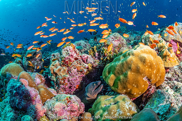 Maldives tropical reef community. Morray eel and tropical fish in mostly dead or dying coral reef following several bleaching events, the latest in 2016. Dhonfanu Thila, Baa Atoll, Maldives