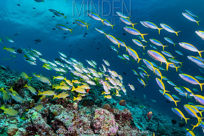 Maldives tropical reef community. Mixed fish species schooling over mostly dead or dying coral reef following several bleaching events, the latest in 2016. Kottefaru Beyru, Raa Atoll, Maldives.