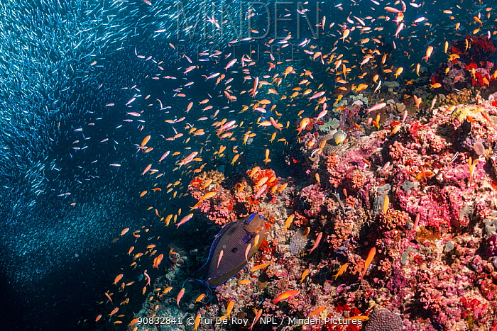 Mixed fish species schooling over mostly dead or dying coral reef following several bleaching events, the latest in 2016. Christmas Rock, Noonu Atoll, Maldives.