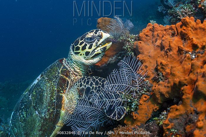 Hawksbill turtle (Erethmochelys imbricata) feeding on tropical reef, Tulamben, North coast, Bali, Indonesia. Lesser Sunda Islands.