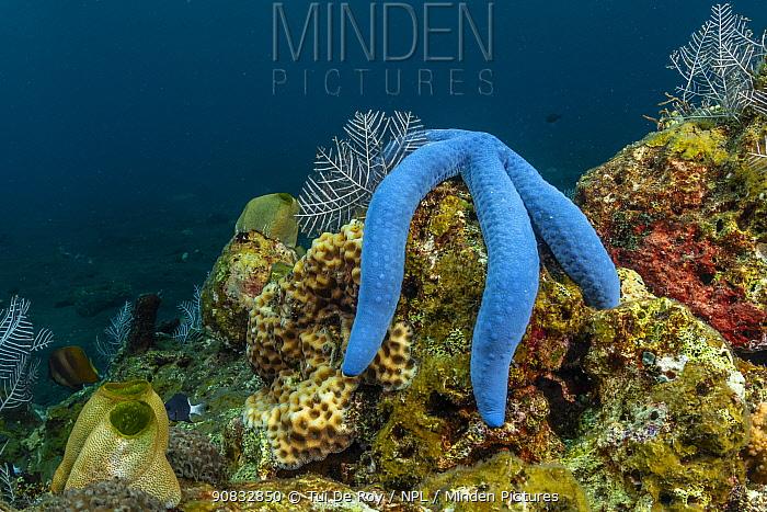 Linckia starfish (Linckia laevigata) in tropical reef community comprising numerous colourful invertabrates and fish. Tulamben, North coast, Bali, Indonesia , Tulamben, Bali, Indonesia. Lesser Sunda Islands.