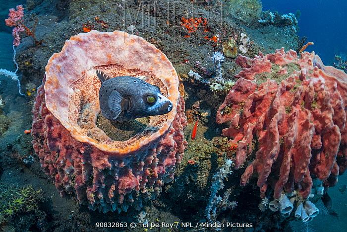 Pufferfish (Tetraodontidae) at Giant barrel sponge (Xestospongia muta) Tulamben, North coast, Bali, Indonesia. Lesser Sunda Islands.