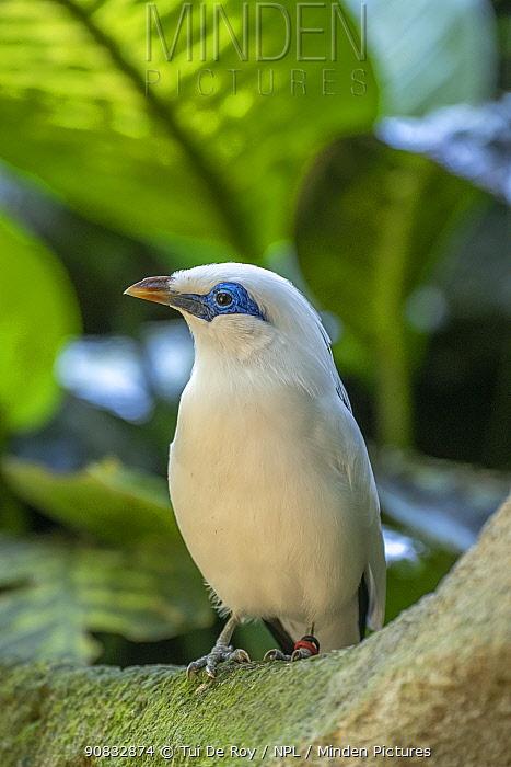 Bali myna (Leucopsar rothschildi).Bali Bird Park, Denpasar, Bali, Indonesia. Critically endangered, in captive breeding program.