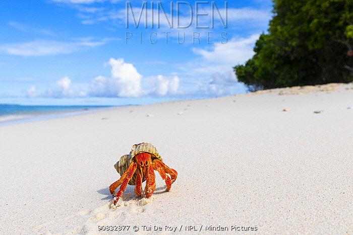 Strawberry land hermit crab (Coenobita perlatus). On white coral sand beach, Small unhinhabited coral islet in Raa Atoll lagoon, Maldives