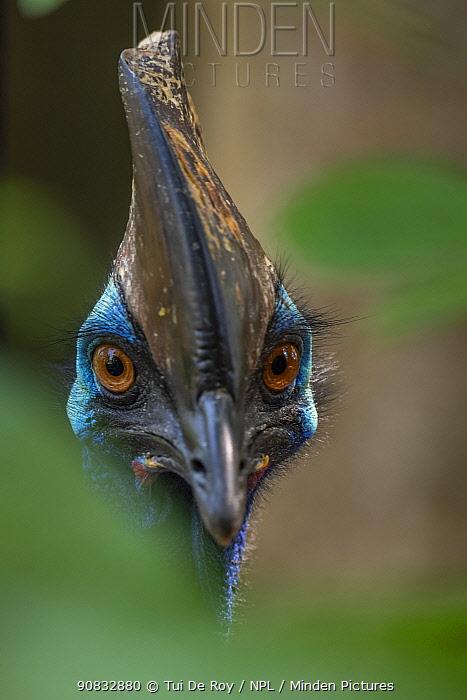 Southern cassowary (Casuarius casuarius) Bali Bird Park, Denpasar, Bali, Indonesia. Captive.