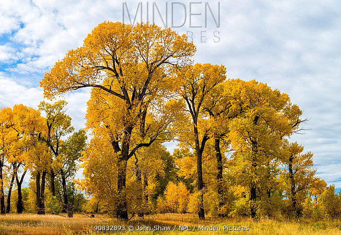 Narrowleaved cottonwood trees (Populus angustifolia) in autumn color mark a wet area on the prairie. Montana, USA. October.
