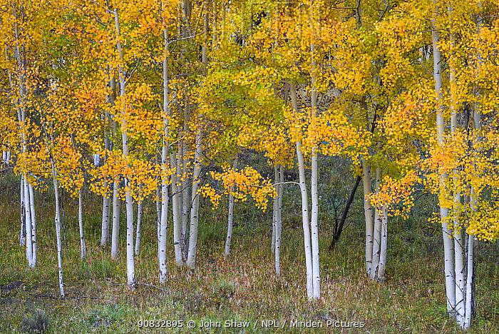 Autumn quaking apen trees (Populus tremuloides) on Sunshine Mesa near Telluride, Uncompahgre National Forest, Colorado, USA. October.