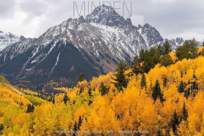 Autumn quaking aspens (Populus tremuloides) with mixed evergreens below the Sneffels Range. Uncompahgre National Forest, Colorado, USA. October.