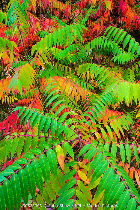 Staghorn sumac (Rhus typhina) leaves changing colour in autumn. Michigan, USA, October.