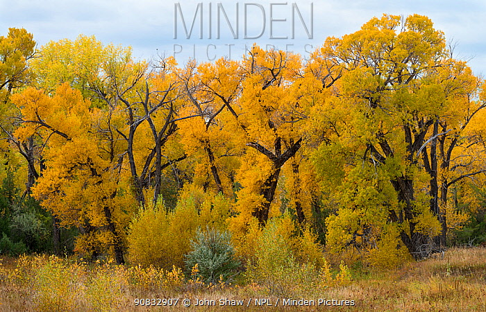 Narrowleaved cottonwood trees (Populus angustifolia) in autumn colour mark a wet area on the prairie. Montana, USA, October.