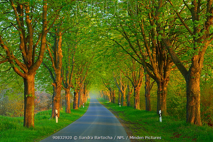 Chestnut trees (Aesculus hippocastanum) lining road, Uckermark, Germany, April.