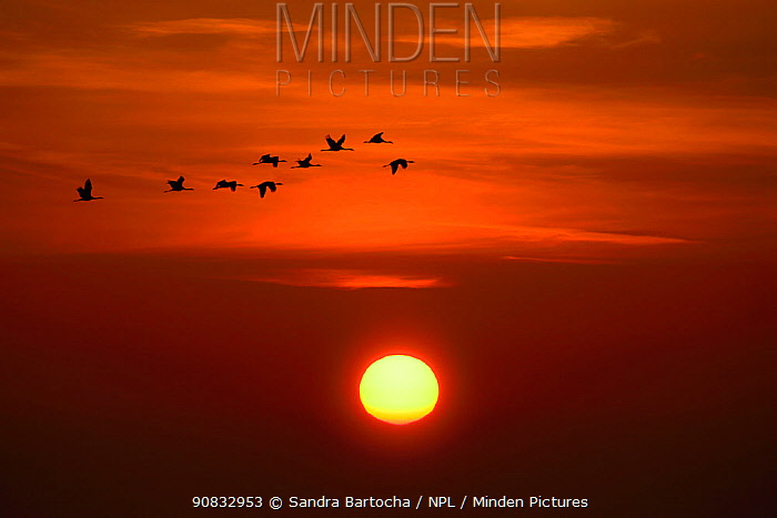 Cranes (Grus grus) flying with the sunrise, Zingst, Germany