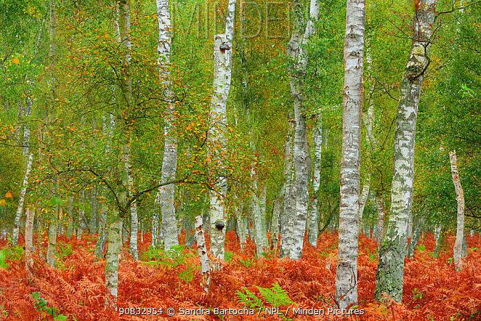 Birch trees (Betula sp) and Bracken (Pteridium aquilinum) Ahrenshoop, Germany, October.