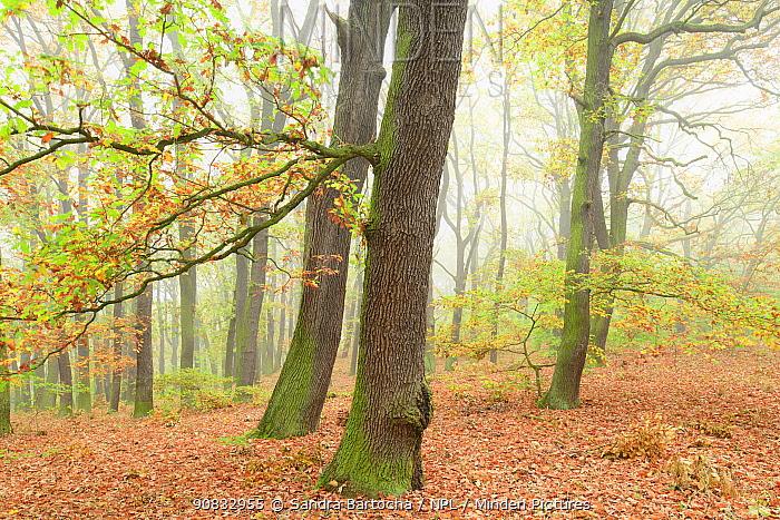 Oak tree (Quercus robur) forest, Potsdam, Germany, October.