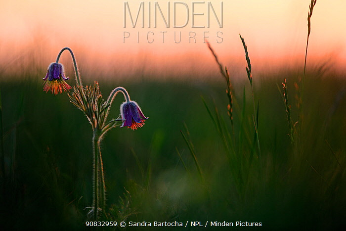 Small pasqueflower / Pasque flower (Pulsatilla pratensis), at dusk, Meesiger, Germany, May.