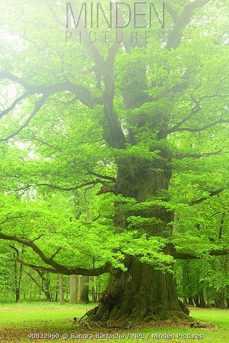 Ancient Oak tree (Quercus robur) Ivenack, Germany, May.