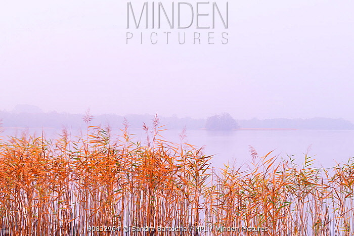 Lake Breiter Luzin with reeds, Feldberger Seen Nature Park , Germany, November.
