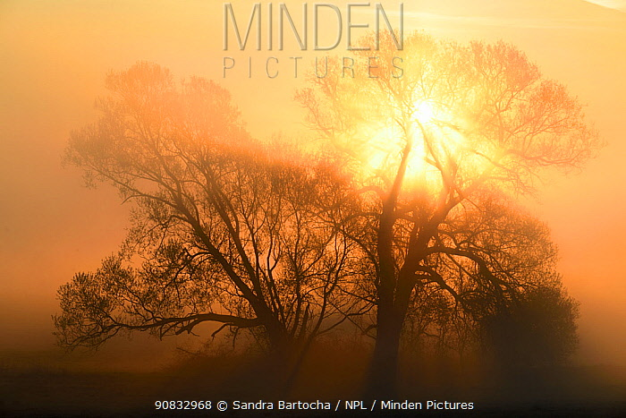 Trees silhouetted in dawn mist, Tollense valley, Neubrandenburg, Germany, April