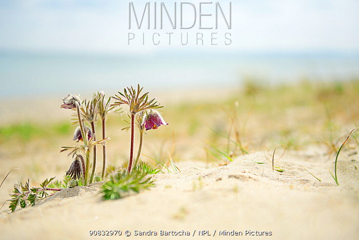Small pasqueflower / Pasque flower (Pulsatilla pratensis) on the beach, Prora, Ruegen, Germany, May.