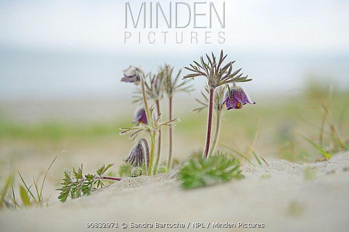 Small pasqueflower / Pasque flower (Pulsatilla pratensis) on the beach, Prora, Ruegen, Germany, May.