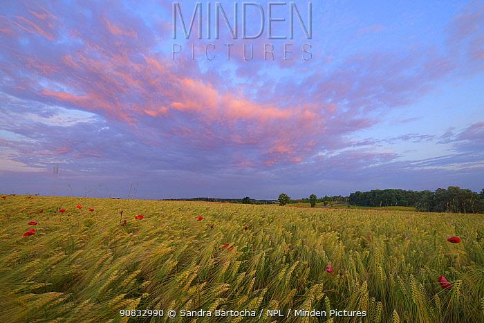 Field of Barley (Hordeum vulgare) with poppies (Papaver rhoeas) Peckatel, Germany, June.
