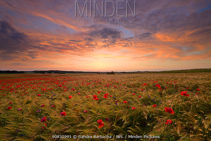 Field of poppies (Papaver rhoeas) growing in Barley (Hordeum vulgare) crop, Peckatel, Germany, June.